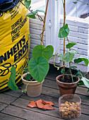 Weißen Kasten mit Prunkwinde bepflanzen: 2/3