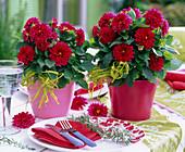 Dahlia Dahlietta 'Patty' (Zwerg - Dahlien) in rotem und rosa Übertopf