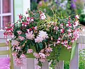 Fuchsia 'Hanna' (Fuchsie), Begonia tuberhybrida (Knollenbegonie)