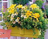 Lilium 'Lemon Pixie' (Lilien), Osteospermum 'Lemon Symphonie'