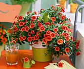 Calibrachoa Dream Kisses 'Orange Sunset' (Zauberglöckchen)
