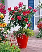Hibiscus rosa-sinensis (Roseneibisch) unterpflanzt