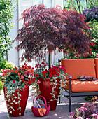 Acer palmatum dissectum 'Garnet' (Rotblättriger Schlitzahorn)