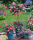 Rosa 'Charmant' (Rose), Zwergrose, leicht duftend, gesund, robust und öfterblü