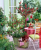 Ribes (Rote Johannisbeeren), Stamm und Busch