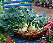 Brassica gongylodes (kohlrabi) freshly harvested in shallow basket