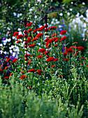Lychnis chalcedonica (Brennende Liebe)