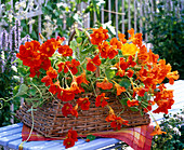 Tropaeolum (nasturtium) in handle basket
