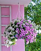 Petunia Calimero 'Pink Vein' 'White Improved' (Petunien)