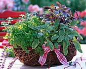 Herbs in the basket, Salvia officinalis 'Icterina', Petroselinum