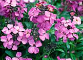 Erysimum Poem 'Lilac' (Goldlack) mehrjährig
