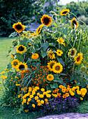 Gelbes Sommerblumenbeet : Helianthus annuus (Sonnenblumen)