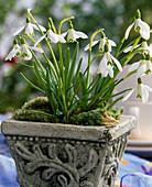 Topf mit Galanthus nivalis (Schneeglöckchen)