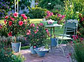 Hibiscus rosa-sinensis (Roseneibisch), Nerium oleander