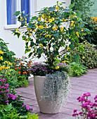 Abutilon (Schönmalve) unterpflanzt mit Dichondra 'Silver Falls'