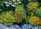 Tagetes tenuifolia 'Starfire Mix' (Kleine Studentenblumen)