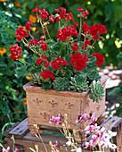 Pelargonium zonale Little Lady 'Scarlet' (Stehende Geranie)
