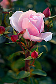Rosa 'La Nina' (Edelrose) von Meilland