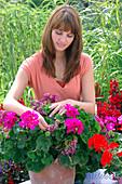 Frau bricht verblühte Blüten von Pelargonium zonale