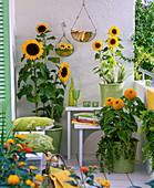 Balkon mit Helianthus (Sonnenblumen) in grünen Kübeln