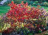 Euonymus alatus (Korkleistenspindelstrauch) in Herbstfarbe