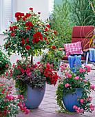 Rosa 'Medley Red' (Bodendeckerrose), öfterblühend, Stamm
