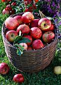 Malus (Äpfel) in Korb
