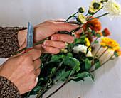 Chrysanthemum (Herbstchrysanthemen) schräg anschneiden