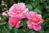 Rosa 'Magic Meidiland' (Beetrose), öfterblühend, kräftigrosa, sehr robust