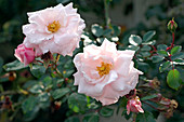 Rosa 'New Dawn' (Kletterrose), öfterblühend, leichter Apfelduft, gesund und zu