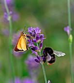 Lavandula (Lavendel) mit Schmetterling und Hummel