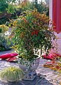 Nandina domestica (Heiliger Bambus)
