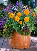 Helianthus 'Teddybär' (Gefüllte Sonnenblumen), Sanvitalia
