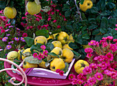 Cydonia 'Konstantinopler' (Apfelquitten) auf rosa Holztablett