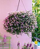 Bacopa syn. Sutera 'Rose Pink' (Schneeflöckchen) in Ampeltopf