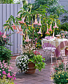 Datura 'Pink Favourite' (Engelstrompete) unterpflanzt