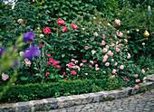 Rosa (Rosen) im Beet mit Dianthus (Bartnelken), Lychnis (Vexiernelke)