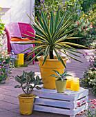Yucca gloriosa 'Variegata' (Yuccapalme)
