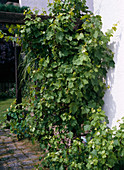Vitis (Weintrauben) an Pergola am Haus
