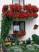 Balkon mit roten Pelargonium peltatum (Hängegeranien)