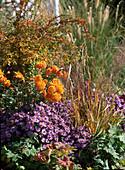 Aster dumosus / Kissenaster, Chrysanthemum / Staudenchrysantheme, Berberis