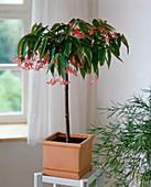 Begonia 'Tamaya' (Strauchbegonie) als Stämmchen gezogen