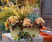 Herbstzauber : Chrysanthemum Yahou 'Peach' (Herbstchrysanthemen)