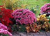 Chrysanthemum Yahou 'Nitro' (Herbstchrysantheme)