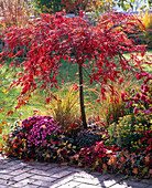 Acer palmatum 'Dissectum Garnet' (rotblättriger Schlitzahorn) in Herbstfarbe