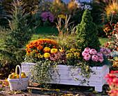Weißer Holzkasten mit Chrysanthemum (Herbstchrysanthemen)