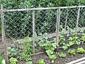 Gemischtes Beet mit Cucumis (Gurken) an Klettergestell, Lactuca (Salat)