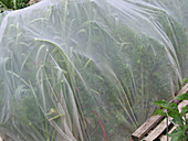 Daucus carota (Möhren) und Allium cepa (Zwiebeln) unter Schutznetz