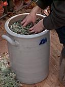 Artemisia abrotanum (Wermut), Brühe mit Wasser ansetzen