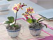 Mini - Phalaenopsis (Malayenblume) in chinesischen Reisschalen